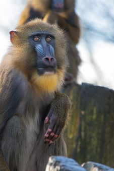 Free Mandrill 2016-01-14-00167 Stock Photo - 84907820
