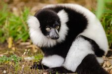 Free Black And White Ruffed Lemur Royalty Free Stock Image - 84907986