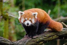 Free Red Panda Stock Image - 84908071