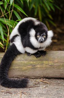 Free Black And White Ruffed Lemur Royalty Free Stock Image - 84908116
