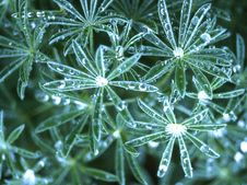Free Lupine Leaves With Water Drops 2 Stock Images - 84908284