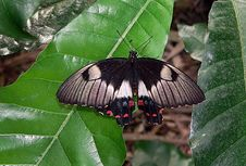 Free Common Eggfly Royalty Free Stock Image - 84908306