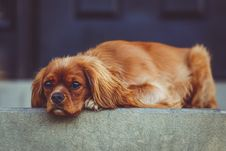 Free Brown Long Coated Short Dog Lying On The Grey Gound Stock Image - 84908471