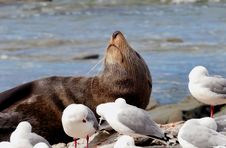 Free Southern NZ Fur Seal. Stock Photography - 84908502