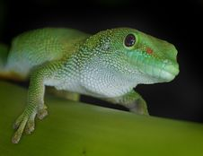 Free Madagascan Day Gecko Royalty Free Stock Photography - 84908627