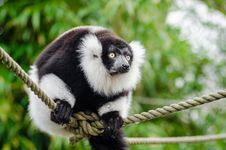 Free Black And White Ruffed Lemur Royalty Free Stock Photo - 84908815