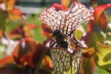 Free The Pitcher Plant And The Bee Royalty Free Stock Photo - 84909615