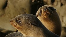 Free Southern NZ Fur Seal Pups. Stock Images - 84910094