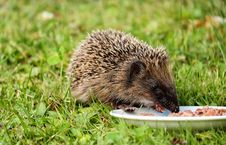 Free Gray And Black Hedgehog Eating On Plate Stock Photo - 84910480