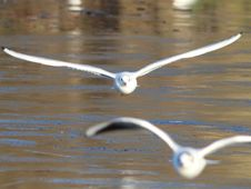 Free Seagulls Skimming Water Royalty Free Stock Photography - 84911187
