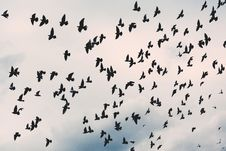 Free Flock Of Birds Stock Photography - 84911872