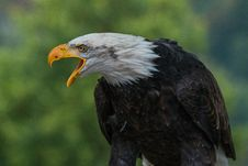 Free Close Up Photography Of White Black Eagle During Daytime Royalty Free Stock Image - 84912246
