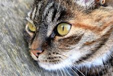 Free Closeup Portrait Of Cat Royalty Free Stock Photo - 84915595