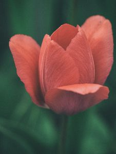 Free Pink Tulip Closed Up Photography Royalty Free Stock Image - 84915666