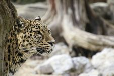 Free Leopard Leaning Behind Tree Royalty Free Stock Photo - 84916045
