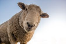 Free Focus Photo Of Brown Sheep Under Blue Sky Stock Photos - 84916593