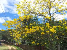 Free Blossoming Yellow Trees Royalty Free Stock Photo - 84917285