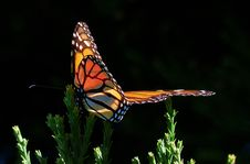 Free Monarch Butterfly.FZ200 Stock Photography - 84918862