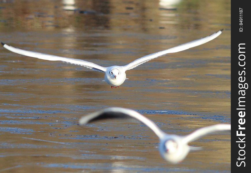 Seagulls skimming water