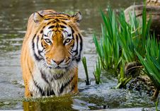 Free Tiger Stock Images - 84920174