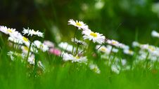 Free Dasies As Seen By A Bug Stock Images - 84920324