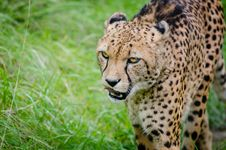 Free Cheetah Stock Photo - 84920480