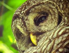 Free Barred Owl Royalty Free Stock Images - 84921609