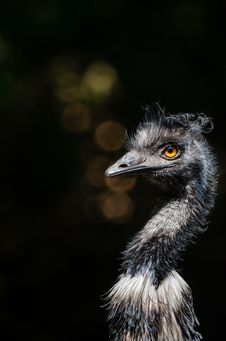 Free Emu Royalty Free Stock Image - 84921776