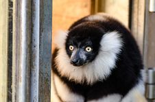 Free Black And White Ruffed Lemur Royalty Free Stock Images - 84922119