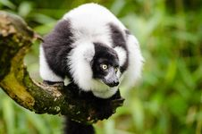Free Black And White Ruffed Lemur Stock Photography - 84922302