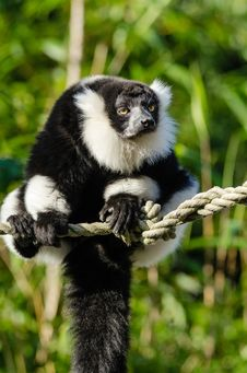 Free Black And White Ruffed Lemur Stock Images - 84922354