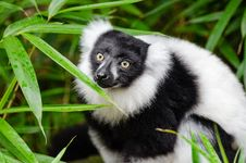 Free Black And White Ruffed Lemur Royalty Free Stock Images - 84922399