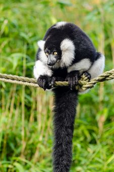 Free Black And White Ruffed Lemur Stock Photo - 84922550