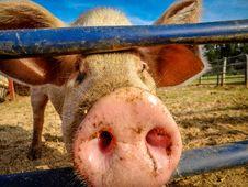 Free Piggy Stock Image - 84922811