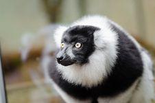 Free Black And White Ruffed Lemur Stock Photo - 84923630