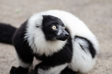 Free Black And White Ruffed Lemur Royalty Free Stock Photo - 84923865