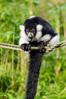 Free Black And White Ruffed Lemur Royalty Free Stock Photography - 84923947