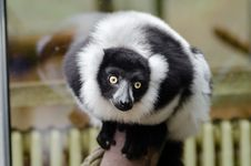 Free Black And White Ruffed Lemur Royalty Free Stock Photos - 84923968