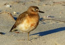 Free New Zealand Dotterel. &x28; Charadrius Obscurus&x29; Royalty Free Stock Image - 84923996