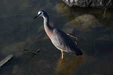 Free White Faced Heron. Stock Photography - 84924032