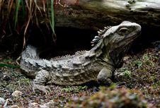 Free Tuatara.New Zealand. Royalty Free Stock Photos - 84924378
