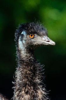 Free Emu Royalty Free Stock Image - 84924606