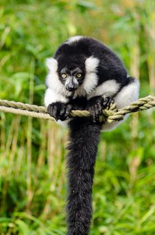 Free Black And White Ruffed Lemur Stock Images - 84925004