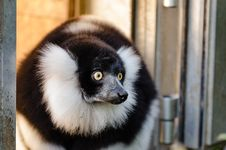 Free Black And White Ruffed Lemur Stock Images - 84925014