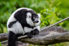 Free Black And White Ruffed Lemur Stock Images - 84925044