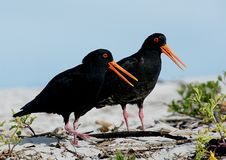 Free Variable Oystercatcher NZ Royalty Free Stock Image - 84925056