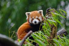 Free Red Panda Royalty Free Stock Photography - 84925137
