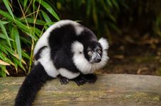 Free Black And White Ruffed Lemur Stock Photography - 84925162