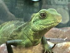 Free Green Iguana Lizard Stock Photography - 84925362