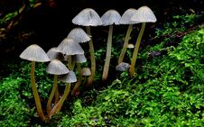 Free Fairy Inkcap, Coprinellus Disseminatus, Royalty Free Stock Image - 84925426